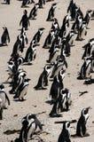 Pingüinos en la playa de los cantos rodados Imagenes de archivo