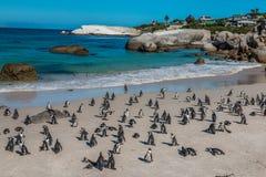 Pingüinos en la playa Suráfrica de los cantos rodados Imagen de archivo libre de regalías