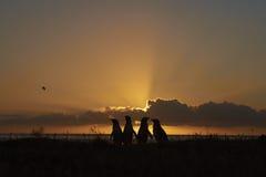 Pingüinos en la salida del sol en Falkland Islands Foto de archivo libre de regalías