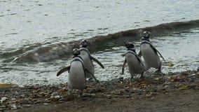 Pingüinos en Magdalena Island Chile almacen de video