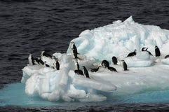 Pingüinos en masa de hielo flotante de hielo Imagen de archivo libre de regalías