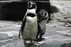 Pingüinos en parque zoológico Imágenes de archivo libres de regalías