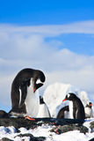 Pingüinos en una roca Fotografía de archivo