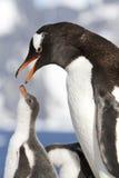 Pingüinos femeninos de Gentoo con el pico abierto y polluelos Imágenes de archivo libres de regalías