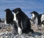 Pingüinos, madre y polluelo de Adelie Fotos de archivo libres de regalías