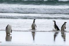 Pingüinos - Magellan y Gentoo en la playa Imágenes de archivo libres de regalías