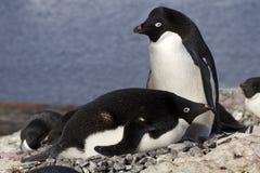 Pingüinos masculinos y femeninos de Adelie en la jerarquía Imágenes de archivo libres de regalías