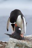 Pingüinos masculinos y femeninos de Gentoo que se acoplan Fotos de archivo