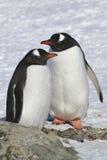 Pingüinos masculinos y femeninos de Gentoo que se colocan cerca del sitio en donde Fotografía de archivo