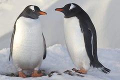 Pingüinos masculinos y femeninos Gentoo cerca de la jerarquía Fotos de archivo libres de regalías