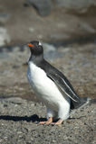 Pingüinos Papua en la Peninsula Antartica. Colonia de pingüinos Papua en la peninsula Antartica Stock Image