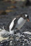 Pingüinos Papua en la Peninsula Antartica. Colonia de pingüinos Papua en la peninsula Antartica Royalty Free Stock Photo