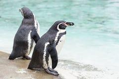Pingüinos por el mar foto de archivo