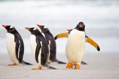 Pingüinos que caminan en la playa (pingüinos de Gentoo, Pygoscelis Papua Imagen de archivo