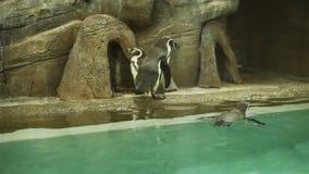 Pingüinos que caminan en la roca almacen de video