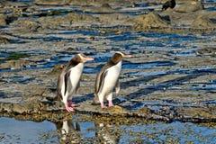 Pingüinos que igualan el paseo fotos de archivo