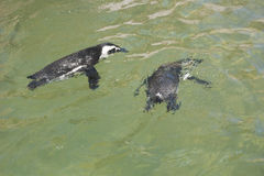 Pingüinos que nadan Fotografía de archivo libre de regalías