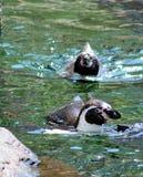 Pingüinos que nadan en una piscina Fotografía de archivo
