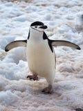 Pingüinos salvajes de Chinstrap en la Antártida Fotografía de archivo libre de regalías