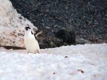 Pingüinos salvajes de Chinstrap en la Antártida Imagen de archivo libre de regalías