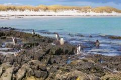 Pingüinos salvajes en una playa hermosa Islas de Falkand Imagen de archivo libre de regalías