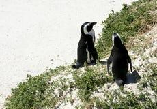 Pingüinos surafricanos en una playa Imagen de archivo libre de regalías
