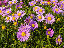 Ping aster in garden Stock Photo