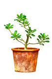 Ping Bignonia in handmade flowerpot. On white background royalty free stock photos