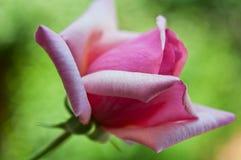 Ping flower rose Stock Photos