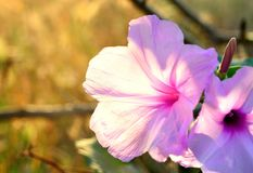 Ping flowers. Beautiful pink flowers in the garden on spring time Royalty Free Stock Photo
