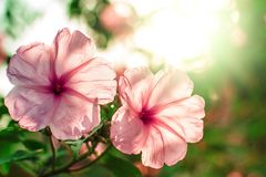 Ping flowers. Ping flowers on spring times. copyspace Royalty Free Stock Images