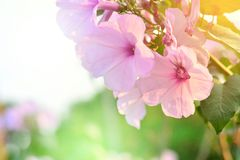 Ping flowers. Ping flowers on spring times. copyspace Royalty Free Stock Photography
