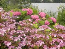 Ping Hydrengeas oavkortad blom arkivfoto