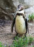 Ping?ino de Humboldt, humboldti del Spheniscus en el parque zool?gico fotos de archivo