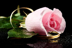 Ping rose with water drops Royalty Free Stock Photo
