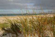 Pingao, ficiniaspiralis, gouden zandzegge endemisch aan Nieuw Zeeland Stock Foto's