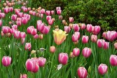 Pingelt de tribune uit Gele Tulp onder tulpen royalty-vrije stock afbeelding