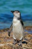 Pingüino africano joven Fotografía de archivo libre de regalías