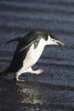 Pingüino de Chinstrap Foto de archivo