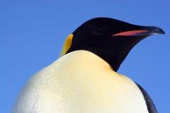 Pingüino de emperador hermoso Foto de archivo libre de regalías