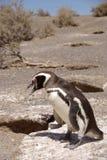 Pingüino de Magellanic en Patagonia Fotografía de archivo