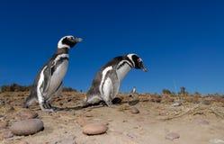 Pingüino de Magellanic en Patagonia Fotos de archivo libres de regalías