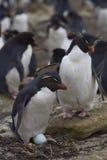 Pingüino de Rockhopper - Islas Malvinas Imágenes de archivo libres de regalías