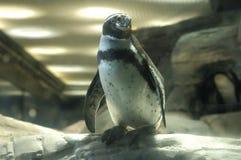 Pingüino derecho Imágenes de archivo libres de regalías