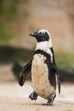 Pingüino lindo Fotografía de archivo libre de regalías
