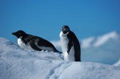 Pingüinos Adelie, la Antártida Fotografía de archivo libre de regalías