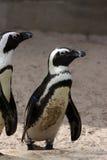 Pingüinos africanos Imagenes de archivo