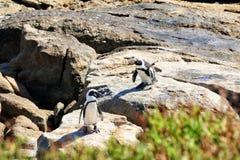 Pingüinos africanos Imagen de archivo