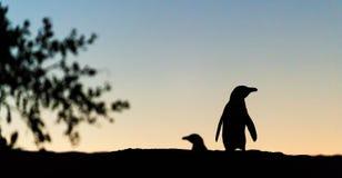Pingüinos africanos en crepúsculos Cielo de la puesta del sol Foto de archivo libre de regalías