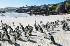 Pingüinos africanos en playa de los cantos rodados Imagen de archivo libre de regalías